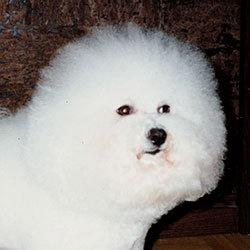 Hilarious Dolly | Snowflake Bichon Frisé