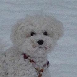 Bichon Frisé im Schnee | Snowflake Bichon Frisé