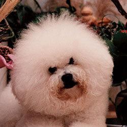 Famous Attraction 15-facher Champion, 3-facher Weltsieger und zweifacher bester Kleinhund des Jahres | Snowflake Bichon Frisé