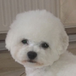 White Little Milly | Snowflake Bichon Frisé