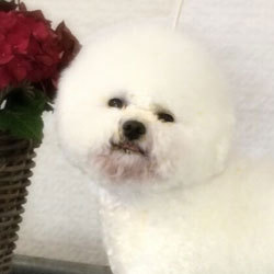 Wonderful Shiningstar | Snowflake Bichon Frisé