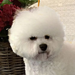Young starlet of the breed | Snowflake Bichon Frisé