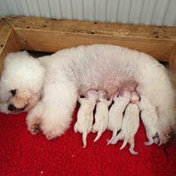 Kora-May nach der Geburt | Snowflake Bichon Frisé