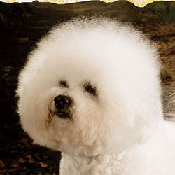 Famous Attraction | Snowflake Bichon Frisé
