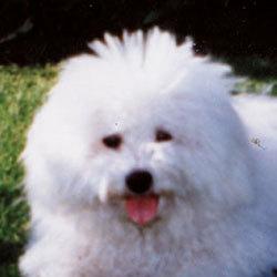 Hund auf der Wiese | Snowflake Bichon Frisé