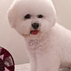 Young starlet of the breed   Snowflake Bichon Frisé